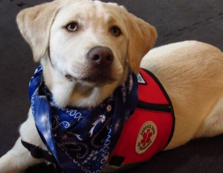 yellow Labrador dog service dog in training