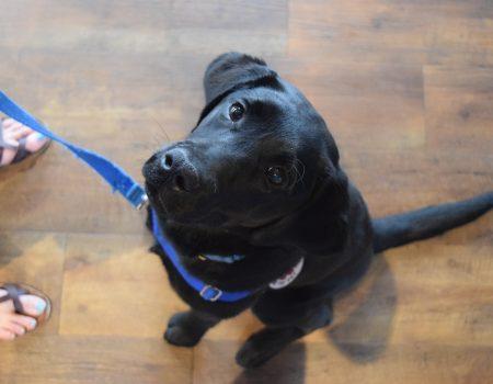 black lab dog service dog in trianing