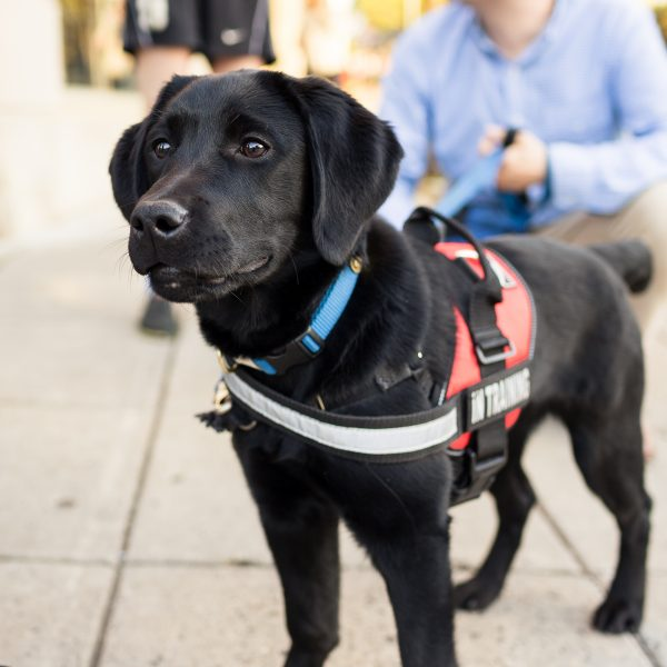 black lab dog service dog in training