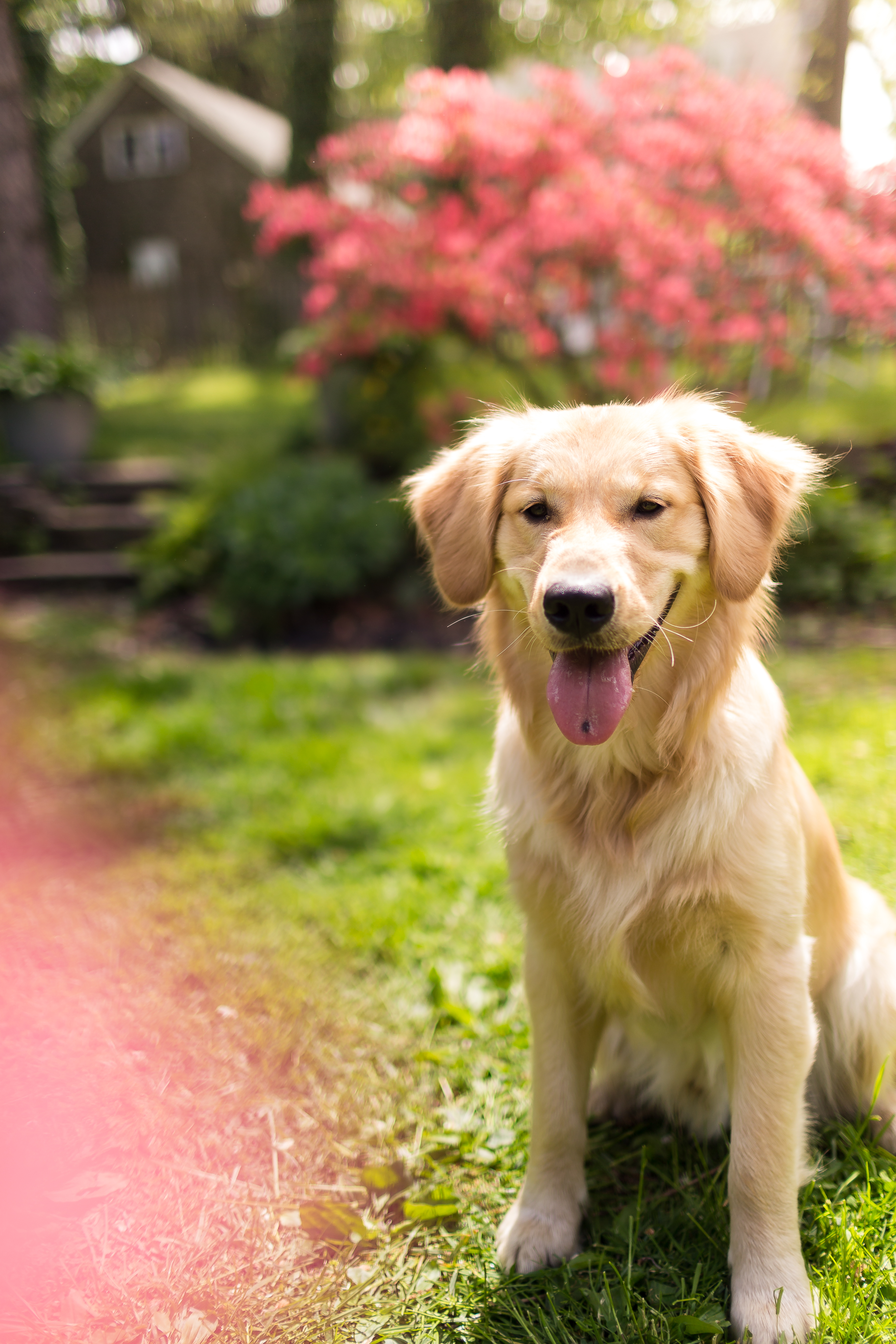 Golden retriever in the sun with tongue out